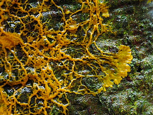Slime mould (Badhamia utricularis), in streaming / plasmodial phase, seeking nutrients on rotting wood. Buckinghamshire, UK.  -  Andy Sands