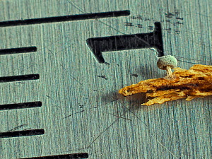 Slime mould (Didymium squamulosum), in reproductive phase, with ruler for scale, showing size of less than 1mm.  -  Andy Sands