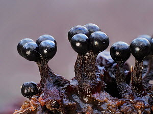 Slime mould (Metatrichia floriformis), in reproductive phase. Close-up of spore-bearing fruiting bodies (sporangia). Buckinghamshire, UK.  -  Andy Sands