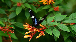 Sara longwing (Heliconius sara) neotropical butterfly nectaring from a flower. Captive, native to Mexico, the Amazon Basin and southern Brazil.  -  Philippe Clement