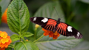 Doris longwing (Heliconius doris) tropical butterfly closing its wings. Captive, native to Central America and the Amazon rainforest.  -  Philippe Clement