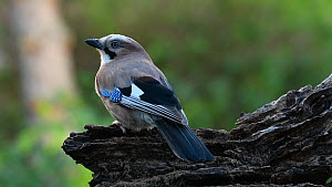 Jay (Garrulus glandarius) feeding and jumping off tree stump, Belgium, June.  -  Philippe Clement