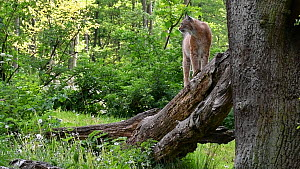 Lynx (Lynx lynx) getting up from resting on a fallen tree trunk, Germany, May. Captive.  -  Philippe Clement
