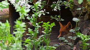 Juvenile Red fox (Vulpes vulpes) resting in hollow tree trunk in woodpile, Germany, May. Captive.  -  Philippe Clement
