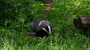 Badger (Meles meles) running along track in grassland at forest edge, Germany, May. Captive.  -  Philippe Clement