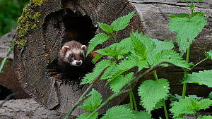Two European polecats (Mustela putorius) entering nest in hollow tree trunk, joining another, Germany, May. Captive.  -  Philippe Clement