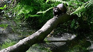 Male European polecat (Mustela putorius) running along a fallen tree, crossing a stream, Germany, May. Captive.  -  Philippe Clement