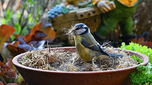 Blue tit (Cyanistes caeruleus) collecting dry moss and animal hair from a bowl to use for nest building, Belgium, April.  -  Philippe Clement