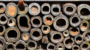 Mason bee (Osmia cornuta) sealing hollow stem in an insect hotel, Belgium, March.  -  Philippe Clement