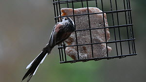 Long-tailed tit (Aegithalos caudatus) feeding from a bird feeder in a garden, Belgium, March.  -  Philippe Clement