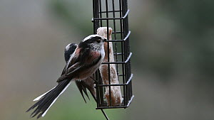 Two Long-tailed tits (Aegithalos caudatus) feeding from a bird feeder in a garden, Belgium, March.  -  Philippe Clement