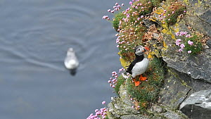 Atlantic puffin (Fratercula arctica) standing on a cliff edge in breeding plumage, Hermaness NNR, Unst, Shetland Islands, Scotland, UK, May.  -  Philippe Clement