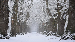 Sweet chestnut trees (Castanea sativa)lining a road, covered in snow, Belgium, January.  -  Philippe Clement