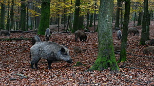 Wild boar (Sus scrofa) with piglets, foraging in a forest in autumn, digging with snout in leaf litter, Germany, November. Captive.  -  Philippe Clement