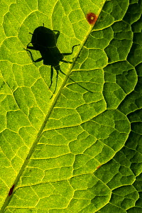 Dock bug (Coreus marginatus) silhouetted against a backlit dandelion leaf (Taraxacum officinale), Broxwater, Cornwall, UK. April .  -  Ross Hoddinott