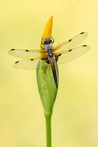 Four-spotted chaser dragionfly (Libellula quadrimaculata) dragonfly resting on Yellow Flag Iris flower bud (Iris pseudacorus), early morning, Broxwater, Cornwall, UK. May .  -  Ross Hoddinott