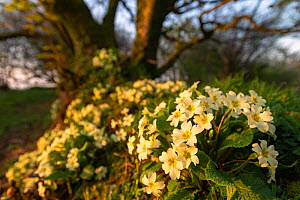 Common primroses (Primula vulgaris) in flower along Cornish hedgerow, Kilkhampton, Cornwall, UK. April.  -  Ross Hoddinott