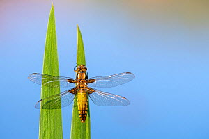 Broad bodied chaser dragonfly (Libellula depressa) recently emerged, resting on reeds, Broxwater, Cornwall, UK. April .  -  Ross Hoddinott