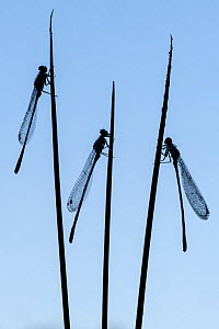 Three common blue damselflies (Enallagma cyathigerum) roosting on sedge and silhouetted at dawn, Broxwater, Cornwall, UK. July .  -  Ross Hoddinott