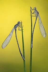 Immature common blue damselflies (Enallagma cyathigerum) resting on reeds, Broxwater, Cornwall, UK. May .  -  Ross Hoddinott