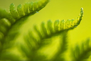 Male fern (Dryopteris filix-mas) close-up, Broxwater, Cornwall, UK, May  -  Ross Hoddinott