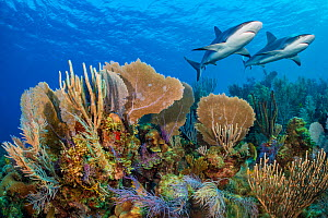 A vibrant Caribbean coral reef with two Reef sharks (Carcharhinus perezi) and Common sea fans (Gorgonia ventalina) and sea plumes (Pseudopterogorgia sp). Jardines de la Reina, Gardens of the Queen Nat...  -  Alex Mustard
