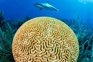 A Caribbean reef shark (Carcharhinus perezi) swims over a Grooved brain coral (Diploria labyrinthiformis). Jardines de la Reina, Gardens of the Queen National Park, Cuba. Caribbean Sea.  -  Alex Mustard
