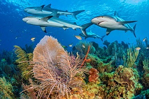 A shiver of Caribbean reef sharks (Carcharhinus perezi) swim over a coral reef with Common sea fans (Gorgonia ventalina) and sea plumes (Pseudopterogorgia sp). Jardines de la Reina, Gardens of the Que...  -  Alex Mustard