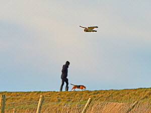 Short eared owl (Asio flammeus) hunting in public country park with person walking dog, UK.  -  Andy Rouse