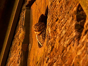 Little Owl (Athene noctua) looking out of window of old barn, UK.  -  Andy Rouse