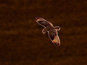 Short eared owl (Asio flammeus) in flight, UK.  -  Andy Rouse
