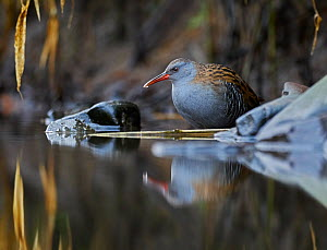 RF - Water rail (Rallus aquaticus) in pool, UK (This image may be licensed either as rights managed or royalty free.)  -  Andy Rouse