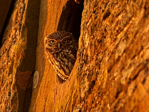 RF - Little Owl (Athene noctua) looking out of window of old barn, UK (This image may be licensed either as rights managed or royalty free).  -  Andy Rouse