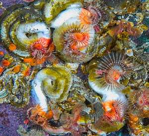 Tubeworms (Serpula columbiana) with feathery antennae extended, North Hanson Island, Johnstone Strait, British Columbia, Canada. March.  -  David Hall