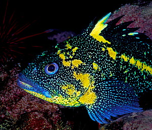 China rockfish (Sebastes nebulosus) Browning Pass, Queen Charlotte Strait, British Columbia, Canada. May.  -  David Hall
