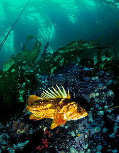 Copper rockfish (Sebastes caurinus) Bolivar Passage, Queen Charlotte Strait, British Columbia, Canada. September.  -  David Hall