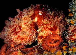 Giant pacific octopus (Enteroctopus dofleini)  Campbell River, British Columbia, Canada. September.  -  David Hall