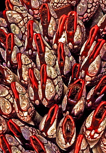 Goose neck barnacles (Pollicipes polymerus), Nakwakto Rapids, Slingsby Channel, British Columbia, Canada. May. This variety with deep red color is only found in this location,  -  David Hall