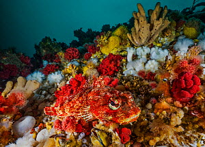 Red Irish lord sculpin (Hemilepidotus hemilepidotus) camouflaged amongst Plumose anemones (Metridium senile), red soft coral (Gersemia rubiformis), various sponges, bryozoans and calcareous tubeworms....  -  David Hall