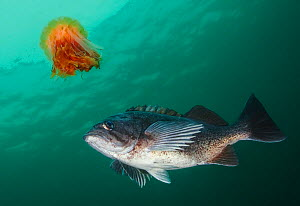 Lion's Mane Jellyfish (Cyanea capillata) with Blue rockfish (Sebastes mystinus) stealing food from the jellyfish's tentacles. Hunt Rock, Queen Charlotte Strait, British Columbia, Canada. Septe...  -  David Hall
