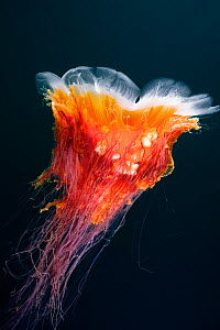 Lion's mane jellyfish (Cyanea capillata) Hunt Rock, Queen Charlotte Strait, British Columbia, Canada. September.  -  David Hall