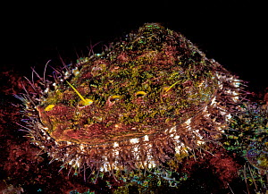 Northern abalone (Haliotis kamschatkana), Browning Pass, Queen Charlotte Strait, British Columbia, Canada. September. Overharvesting in many areas has drastically reduced the population of this specie...  -  David Hall
