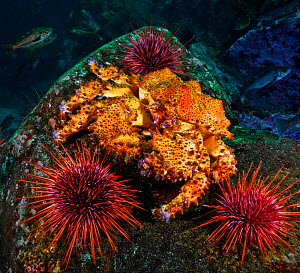 Puget sound king crab (Lopholithodes mandtii) and Red sea urchins (Strongylocentrotus franciscanus), Deserter Group, Queen Charlotte Strait, British Columbia, Canada. September.  -  David Hall