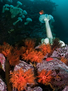 Red sea cucumbers (Cucumaria miniata) and plumose anemones (Metridium farcimen)North Wall, Browning Pass, Queen Charlotte Strait, British Columbia, Canada. September.  -  David Hall