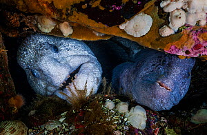Wolf-eels (Anarrhichthys ocellatus) pair (male is on the left) in rocky den at the base of a wall. The pile of broken shells at the entrance is consistent with the wolf-eel's diet, which includes...  -  David Hall