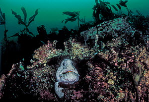 Wolf-eel (Anarrhichthys ocellatus) adult male, in century-old wreckage of a sunken ship. Wreck of the Themis, Croker Rock, Queen Charlotte Strait, British Columbia, Canada. September.  -  David Hall