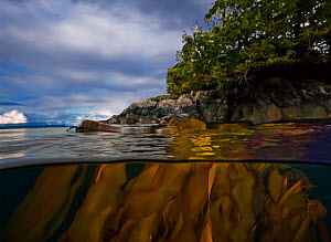 Bull kelp (Nereocystis luetkeana) above and below sea surface, Queen Charlotte Strait, British Columbia, Canada. September  -  David Hall