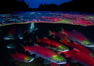Sockeye salmon (Oncorhynchus nerka) migration, Adams River, British Columbia, Canada. October.  -  David Hall