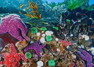 Purple and Ochre sea stars (Pisaster ochraceus) preying on Pacific blue mussels (Mytilus trossulus). Also seen are Green Surf Anemones (Anthopleura xanthogrammica), Short Plumose Anemones (Metridium s...  -  David Hall