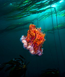 Lion's mane (Cyanea capillata) jellyfish, Hunt Rock, Queen Charlotte Strait, British Columbia, Canada. September.  -  David Hall